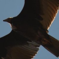 Grand Canyon - California condor