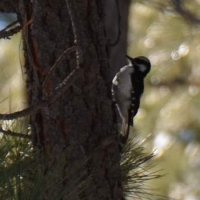 A Hairy or Downy woodpecker