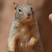 Grand Canyon - Squirrel