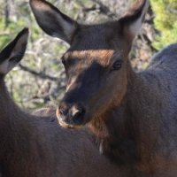 Grand Canyon - Oh my deer
